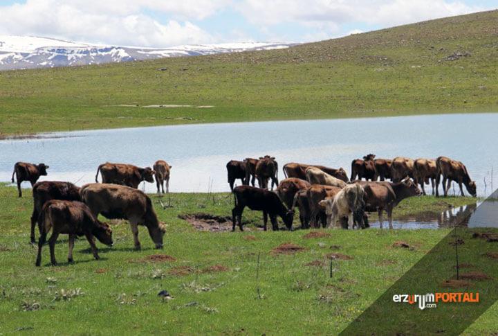 Erzurum'da Hayvancılık